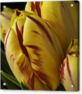 Red Yellow Tulip Acrylic Print