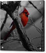 Redbird Acrylic Print