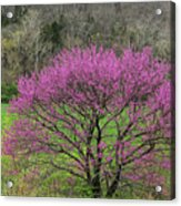 Redbud And Field In Jefferson County Acrylic Print