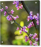Redbud Bloom  Acrylic Print
