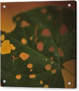 Redbud In Fall Acrylic Print