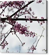 Redbuds In The Mist Acrylic Print
