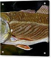 Redfish Study  Acrylic Print