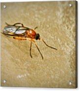 Redfly With Black Eyes Acrylic Print