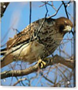 Redtail Among Branches Acrylic Print