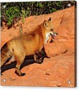 Redtailed Fox Acrylic Print