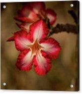 Redwhite Flower Acrylic Print