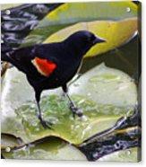 Redwinged Black Bird On A Lily Pad Acrylic Print