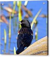 Redwinged Blackbird Acrylic Print