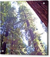 Redwood Forest 1 Acrylic Print