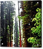 Redwood Forest 5 Acrylic Print