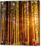 Redwood Forest Acrylic Print