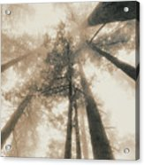 Redwood Forest, Northern California, Usa Acrylic Print