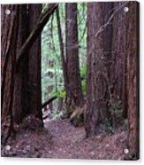 Redwood Grove Acrylic Print