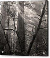 Redwood Mystery Acrylic Print