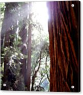 Redwood Sunlight Acrylic Print
