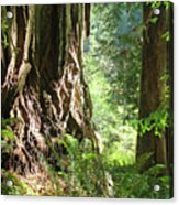 Redwood Tree Art Prints Redwoods Forest Acrylic Print