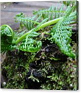 Redwood Tree Forest Fern Art Prints Ferns Giclee Baslee Trouman Acrylic Print