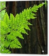 Redwood Tree Forest Ferns Art Prints Giclee Baslee Troutman Acrylic Print