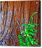 Redwood Tree Trunk At Pilgrim Place In Claremont-california   Acrylic Print