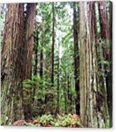 Redwood5 Acrylic Print