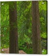 Redwoods #2 Acrylic Print
