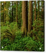 Redwoods And Ferns Acrylic Print