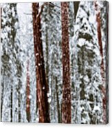 Redwoods In Snow Acrylic Print