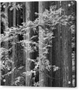 Redwoods Ir 0625 Acrylic Print