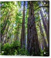 Redwoods National Forrest Trees Of Mistery Acrylic Print