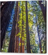 Redwoods Of Muir Woods Acrylic Print