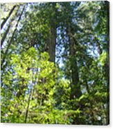 Redwoods Trees Forest Art Prints Baslee Troutman Acrylic Print