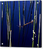 Reeds Of Reflection Acrylic Print by Chris Brannen