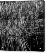 Reeds Reflection  Acrylic Print