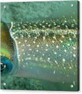 Reef Squid Acrylic Print