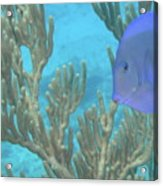 Reef Tang Acrylic Print
