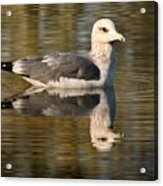 Young Gull Reflections Acrylic Print