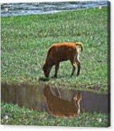 Reflection Buffalo Calf Acrylic Print