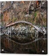 Reflections Iguana Acrylic Print