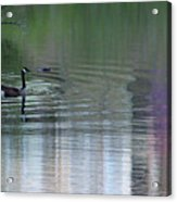 Reflections Of A Canada Goose Acrylic Print