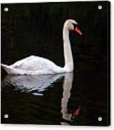 Reflections Of A Swimming Swan Acrylic Print