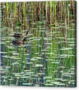 Reflections On Duck Pond Acrylic Print