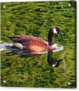 Reflections - Swimming Goose 003 Acrylic Print