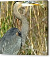 Regal Heron Acrylic Print