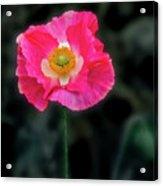 Regal Looking Poppy. Acrylic Print