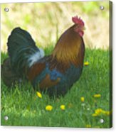 Regal Rooster Acrylic Print