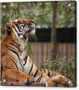Regal Tiger Acrylic Print