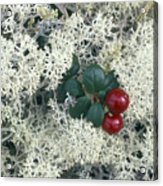 Reindeer Lichen And Low-bush Cranberry Acrylic Print