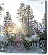 Reindeer On Autumn Sun Acrylic Print