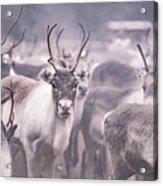 Reindeers Acrylic Print